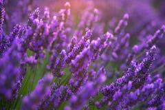 Campos da alfazema em Provence imagens de stock