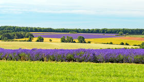 Campos da alfazema, Worcestershire, Inglaterra Imagem de Stock