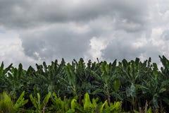 CAMPOS DA BANANA Fotografia de Stock