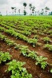 Campos da batata Fotografia de Stock Royalty Free