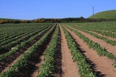 Campos da batata Fotografia de Stock