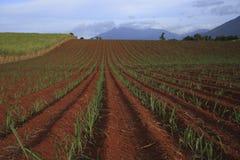Campos da cana-de-açúcar imagem de stock