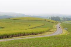 Campos da cana-de-açúcar, Kwazulu Natal, África do Sul fotos de stock