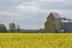 Campos da colza na Suécia do sul Fotografia de Stock Royalty Free