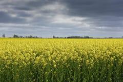 Campos da colza na Suécia do sul Imagens de Stock Royalty Free