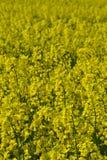 Campos da colza na Suécia do sul Fotos de Stock Royalty Free