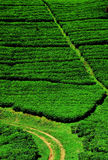 Campos da plantação de chá Imagem de Stock Royalty Free