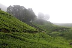 Campos da plantação de chá das montanhas de Cameron Fotografia de Stock
