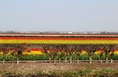 Campos da tulipa da Holanda Imagens de Stock