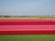 Campos da tulipa na flor na Holanda foto de stock