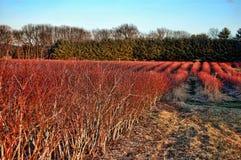 Campos da uva-do-monte Fotografia de Stock Royalty Free