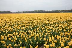 Campos das tulipas do Bollenstreek, Holanda sul, Países Baixos Fotos de Stock Royalty Free