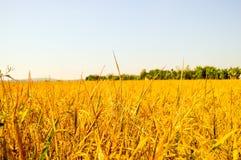 Campos de almofada dourados Imagem de Stock