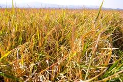 Campos de almofada no tempo de colheita Imagens de Stock
