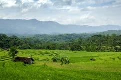 Campos de arroz Imagen de archivo libre de regalías