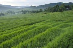 Campos de arroz Fotografía de archivo libre de regalías