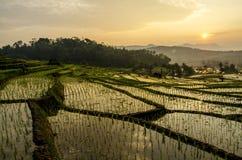 Campos de arroz Imagenes de archivo