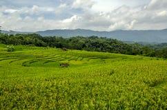 Campos de arroz Imagen de archivo