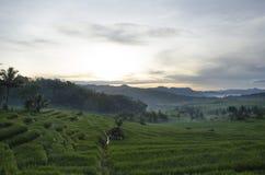 Campos de arroz Fotografía de archivo