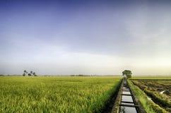 Campos de arroz amarillos de la hermosa vista por la mañana canal concreto del agua para la irrigación del campo del arroz de arr Imágenes de archivo libres de regalías