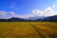 Campos de arroz anaranjados grandes Foto de archivo libre de regalías