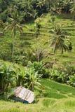 Campos de arroz de arroz de Ubud Fotografía de archivo