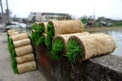 Campos de arroz de la semilla Fotos de archivo libres de regalías