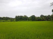 Campos de arroz hermosos imagenes de archivo