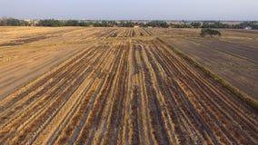 Campos de arroz secos foto de archivo libre de regalías