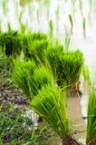 Campos de arroz verdes Fotos de archivo