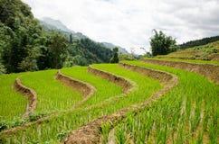 Campos de arroz vietnamitas de arroz Imagen de archivo
