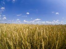 Campos de Careal con el cielo azul imágenes de archivo libres de regalías