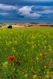 Campos de cereal com papoilas e outras flores foto de stock