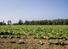 Campos de cigarro crescidos Amish imagem de stock royalty free