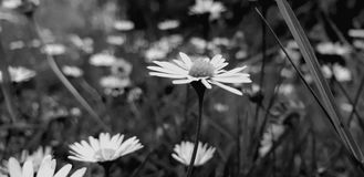 Campos de Daisy Chains imagem de stock