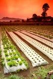 Campos de exploração agrícola vegetais Foto de Stock
