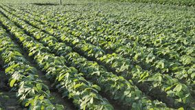 Campos de feijões naturais orgânicos prontos para o movimento de câmeras Fertilizante e Pesticidas filme