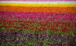 Campos de flor fotografía de archivo