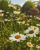 Campos de flor Imagen de archivo libre de regalías