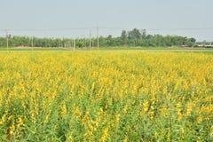 Campos de flor amarelos imagem de stock royalty free