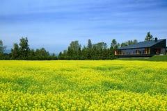 Campos de flor amarillos Fotografía de archivo