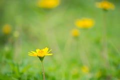 Campos de flor amarillos del color Fotografía de archivo libre de regalías