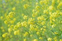 Campos de flor amarillos de la rabina en sol Imagen de archivo libre de regalías