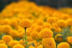 Campos de flor anaranjados de las maravillas, foco selectivo imagen de archivo libre de regalías