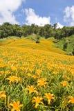 Campos de flor bonitos do lírio em Hualien, Taiwan Imagem de Stock Royalty Free