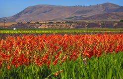 Campos de flor, California central Foto de archivo libre de regalías