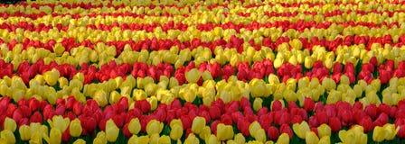 Campos de flor con filas de tulipanes coloridos cerca de los jardines de Keukenhof, Lisse, Holanda Meridional Fotografiado en el  fotos de archivo libres de regalías