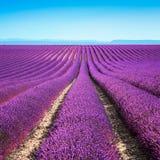Campos de flor da alfazema. Valensole Provence imagens de stock