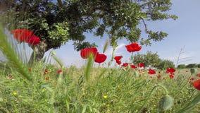 Campos de flor da papoila ajustados em um fundo do céu azul em uma luz solar espanhola gloriosa do céu