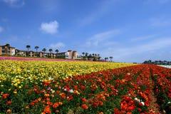 Campos de flor de Carlsbad Imagem de Stock Royalty Free